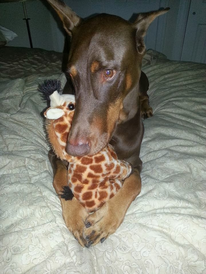 Funny animals of the week - 20 December 2013 (40 pics), cute dog hugs his giraffe toy