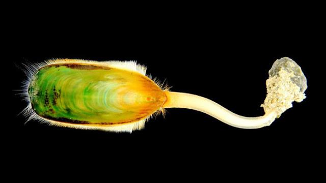 Lingula Anatina, hewan laut purba