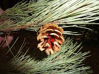 Cute little pine cone found on Fukuura Island