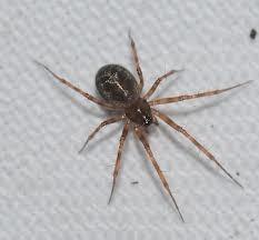Mange edderkopper i huset