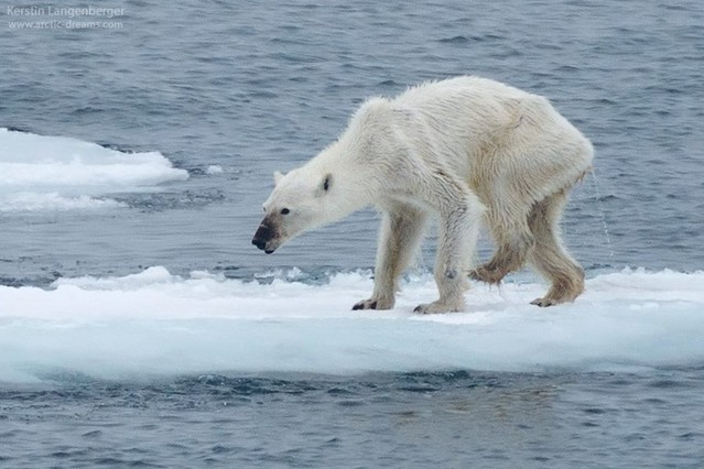 Oso polar desnutrido