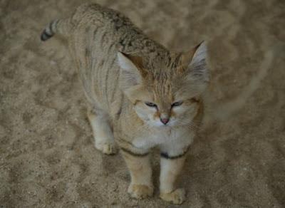 Sand+Cat