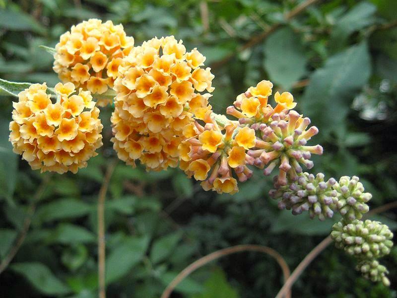 http://commons.wikimedia.org/wiki/File:Buddleja_x_weyeriana_'Sungold'.jpg