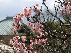 英勝寺の梅