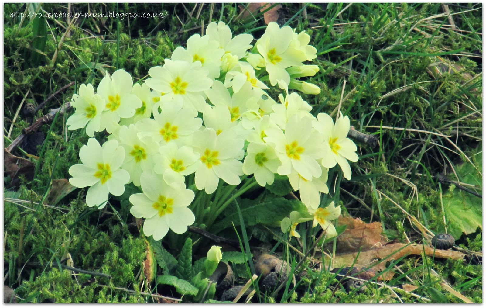 signs of spring, pretty yellow primroses