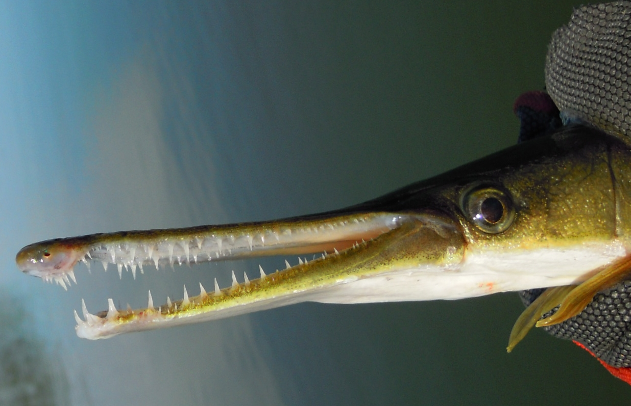 Gar fish : toothy jaws of a shortnose gar shortnose gar caught on a rope fly i ...