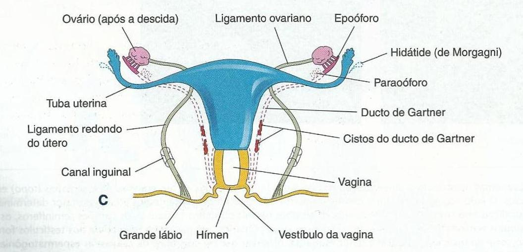 Anatomy of vaginal canal