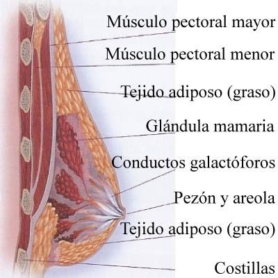 Funciones del tejido adiposo pdf