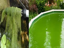 Acuarios y estanques tutoriales algas en el estanque for Agua verde estanque
