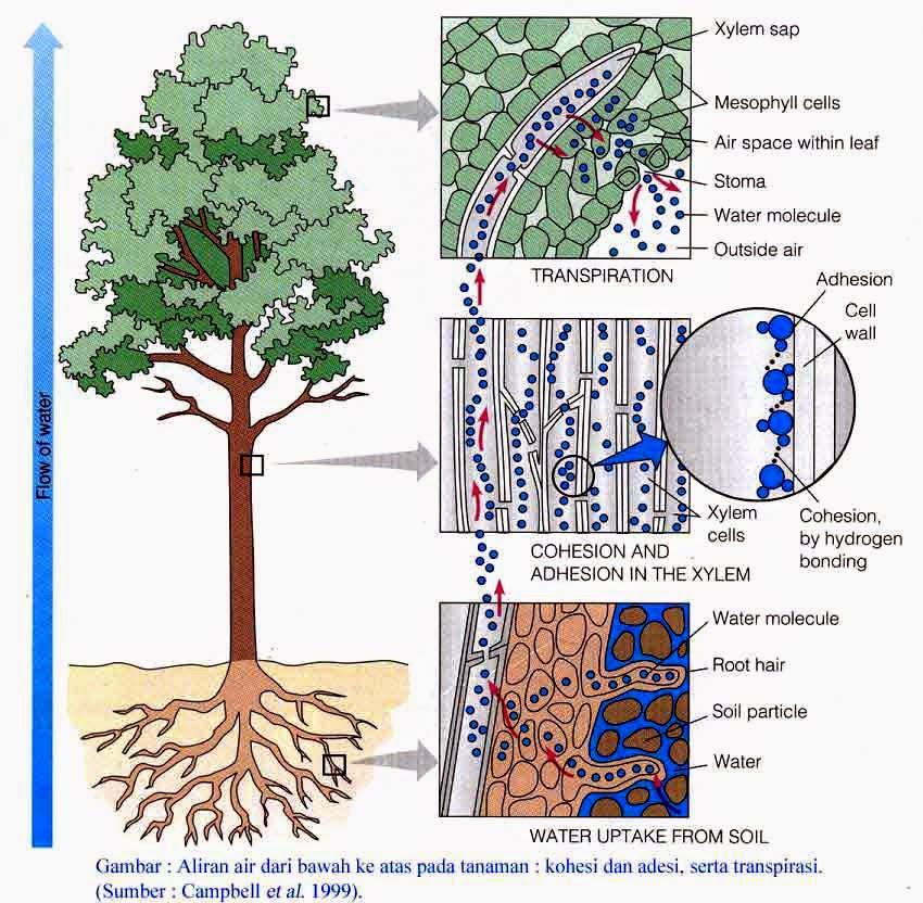 pengertian akar dan strukur anatomi akar
