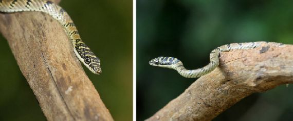 Amazing Colourful Flying Snake - Chrysopelea