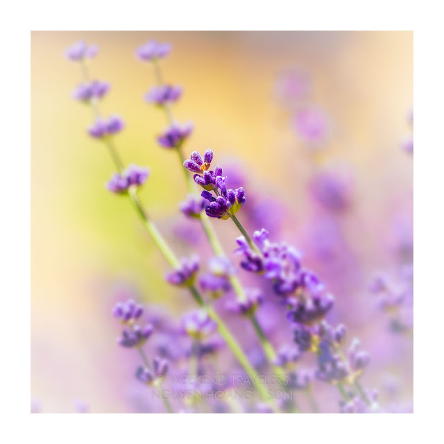 lavender flower blooming close up with hue of colors