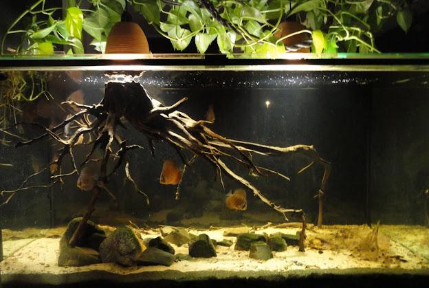 Borko 39 s hobbies discus aquarium an amazon blackwater for Amazon aquarium fish
