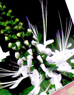 tanaman kumis kucing