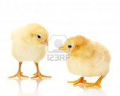 BUY CHICKS TO DAY
