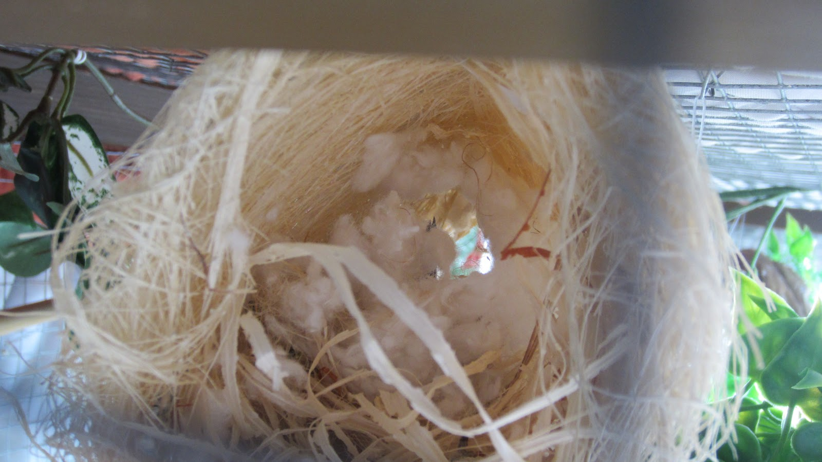 Cordon bleu finch nest - photo#14