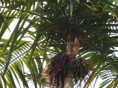 Palmeira açai