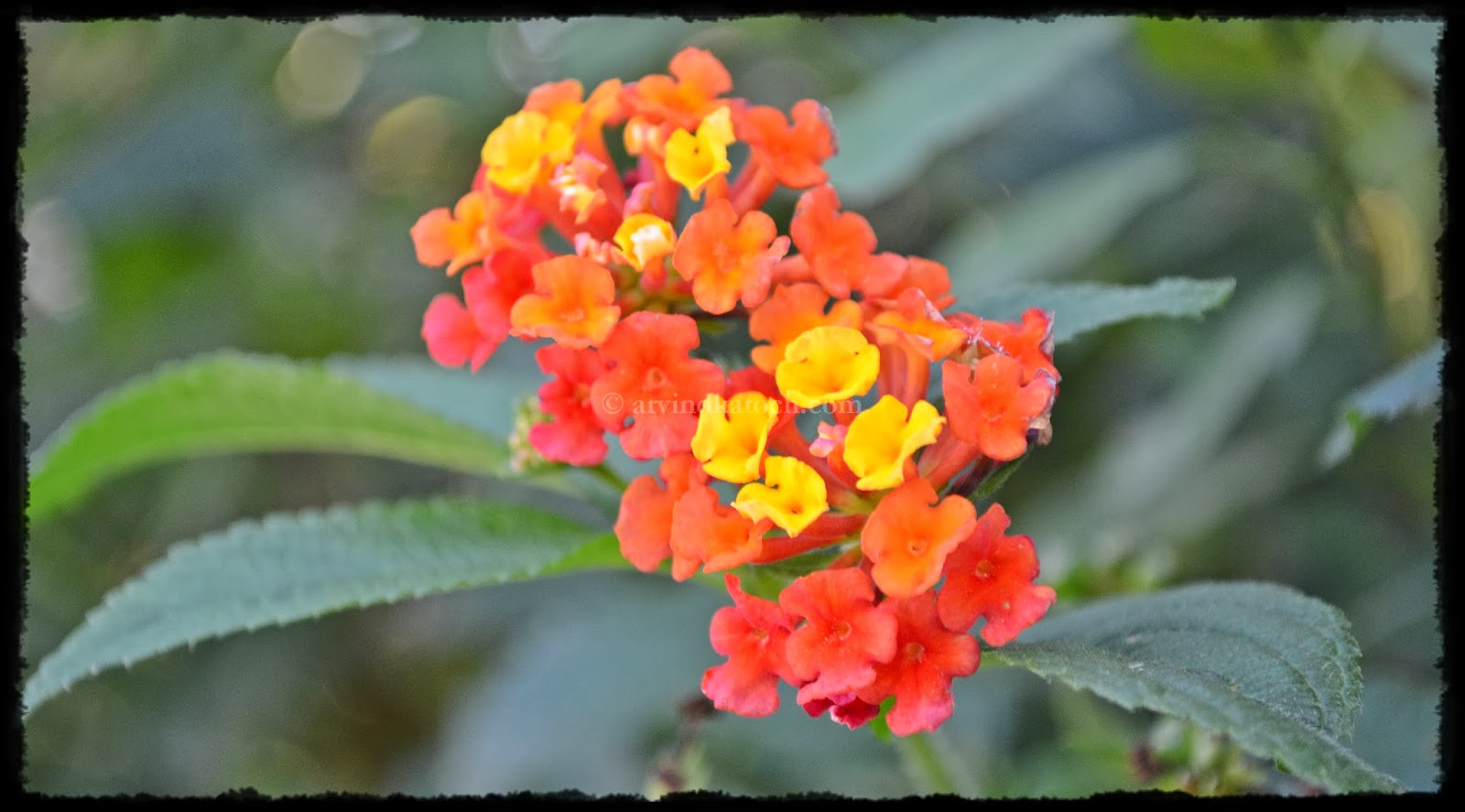 Beauty of Unwanted Red Yellow Lantana Flowers