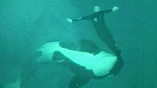 Killer whales in captivity attacks - photo#11