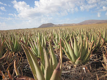 Aloe vera Farm