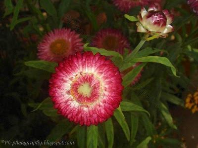 Strawflower pic