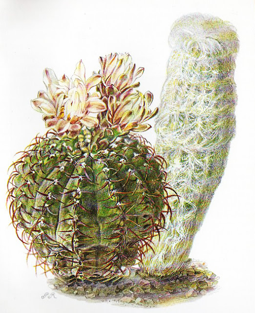taken from a vintage artis-historia book on cacti
