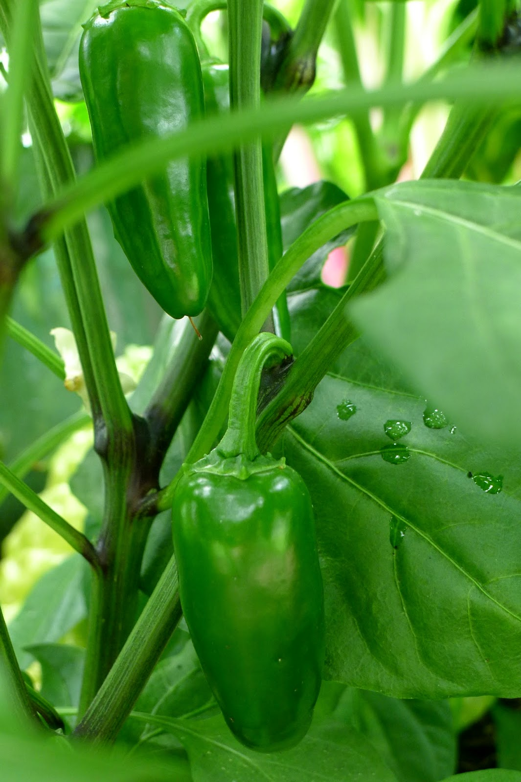 Less Noise, More Green Edible Landscape Project: Goliath Jalapeno Pepper, annual, vegetable