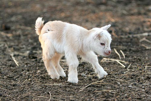 Baby Goats | Cute and Lovely Latest Photographs | Funny ...
