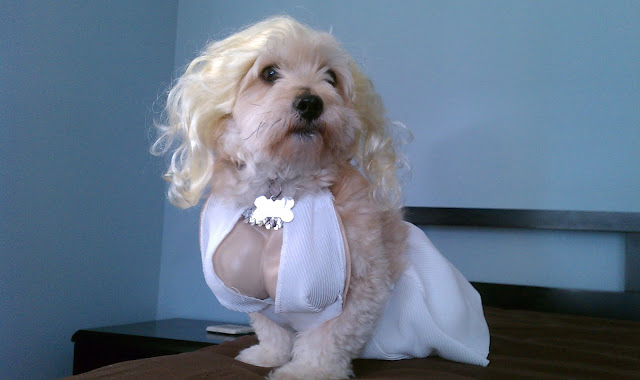 cute dog wear Mailyn Monroe costume, funny dog, dog photos