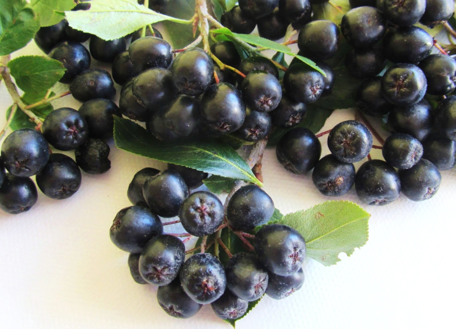 Aronia
