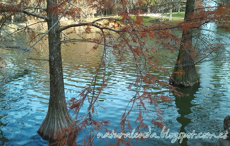 cipreses en el agua