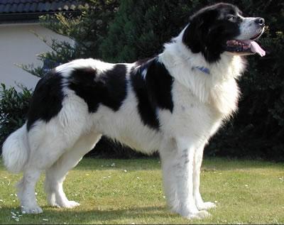 Landseer Dogs For Adoption