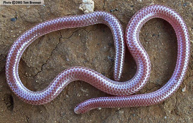 Thread Snake World Small Snakes Planetanimalzone