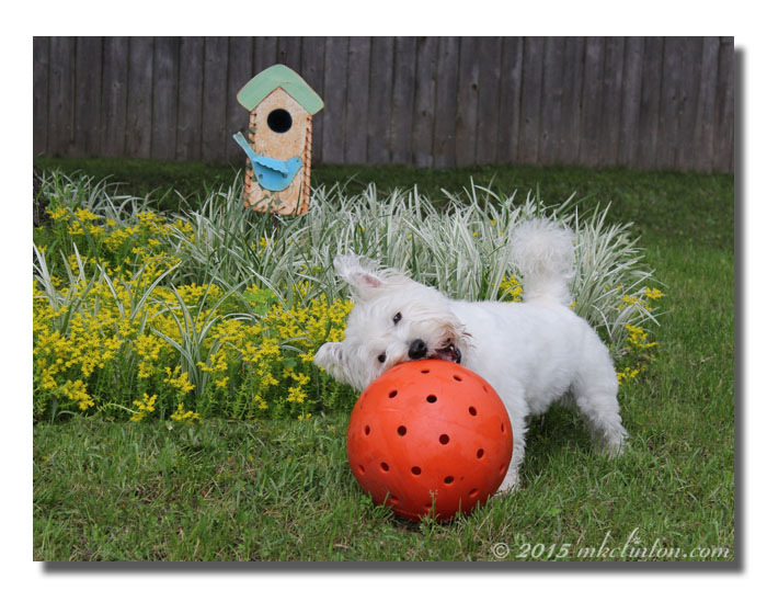 Westie playing with big orange ball