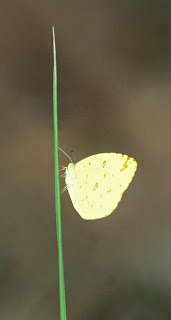 Anderson's Grass Yellow (Eurema andersonii andersonii)