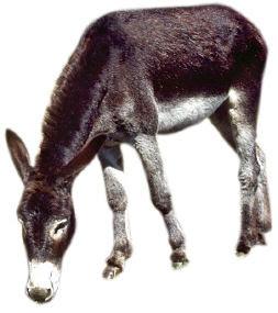 Un día, el burro de un campesino se cayó en un pozo. El animal
