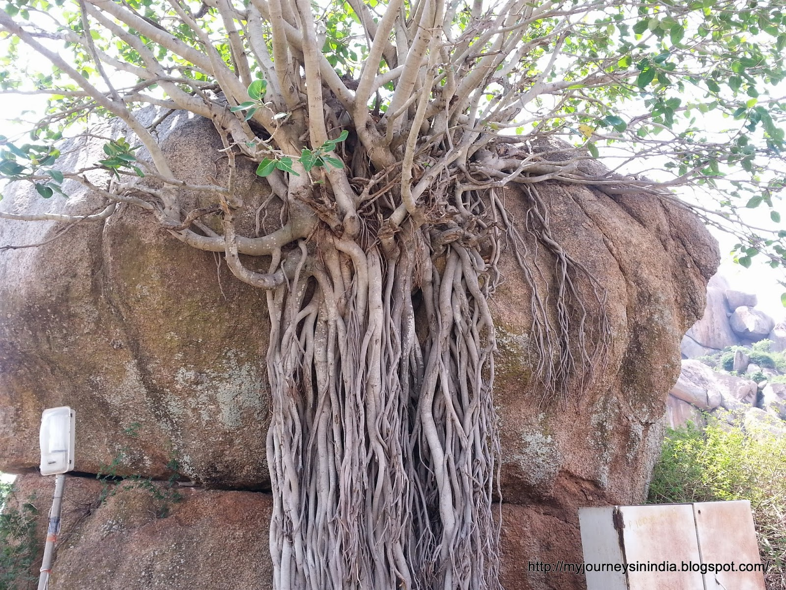 Chitradurga - Tree growing on rocks