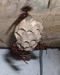 Sarang lebah lumpur