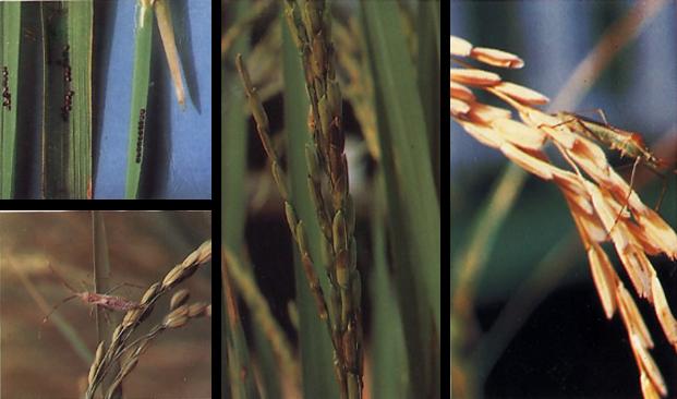 Walang Sangit (Leptocorisa acuta Thumb)