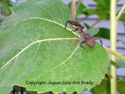 Two black leaf bugs on a sunflower leaf