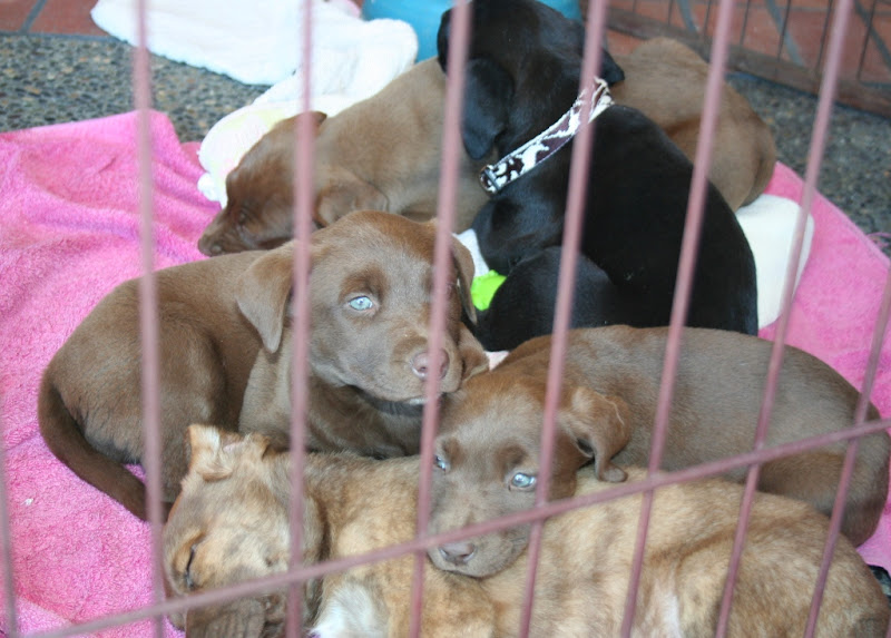 litter of brown, black and brindle puppies in a heap, the brown ones have their eyes open to show their interesting blue/green color