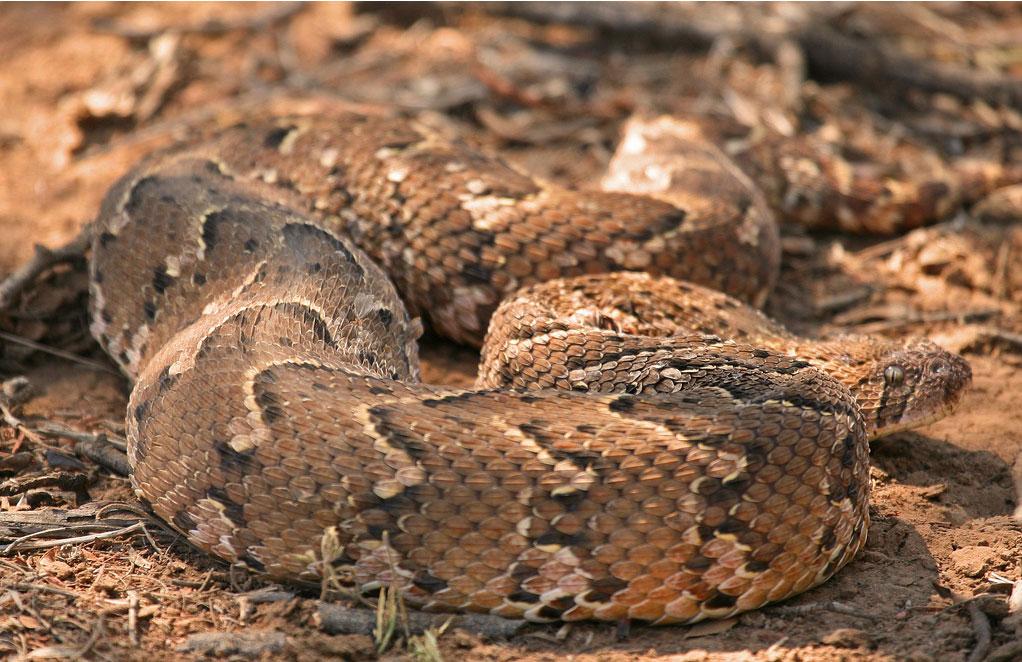 puff adder snake