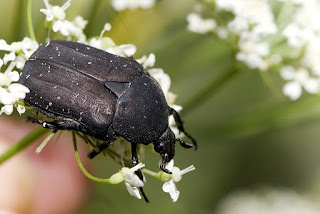 Protaetia (Netocia) morio (Cetonia negra)