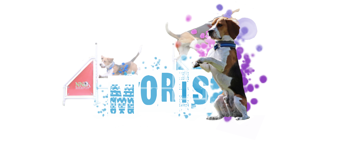 Moris- working beagle