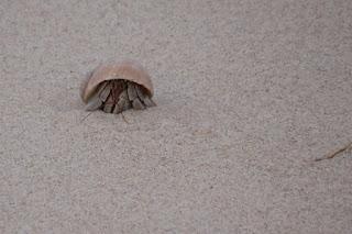 Terrestrial hermit crab on sand dune