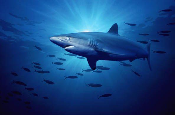 10 Spesies Hiu yang Hampir Punah di Dunia: Silky Shark