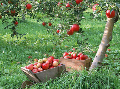 APPLES GARDEN IN GB PAKISTAN