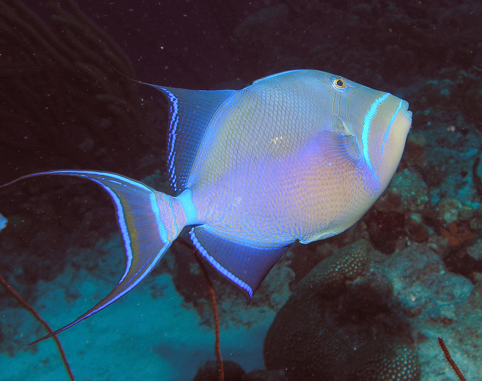 Queen Triggerfish Teeth Queen Triggerfi...