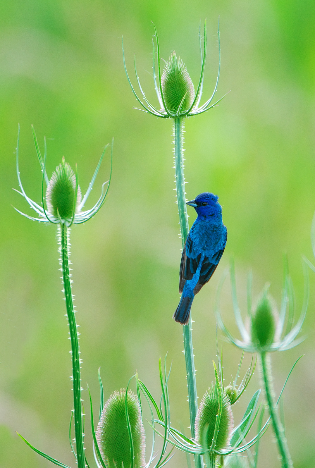 Nw bird blog indigo bunting for The indigo