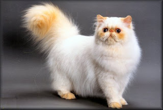 himalayan long hair cat kitten pussy mace macka kat kass katze gato con kissa pets Haustiere huisdieren animaux de compagnie kucni ljubimci augintiniai